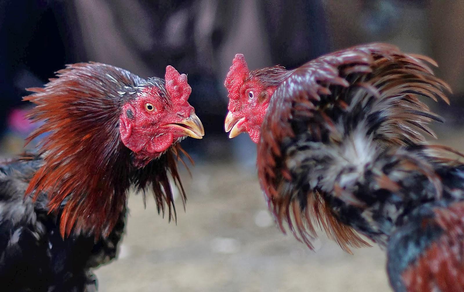 Beberapa Alasan Bermain Sabung Ayam Untuk Anda