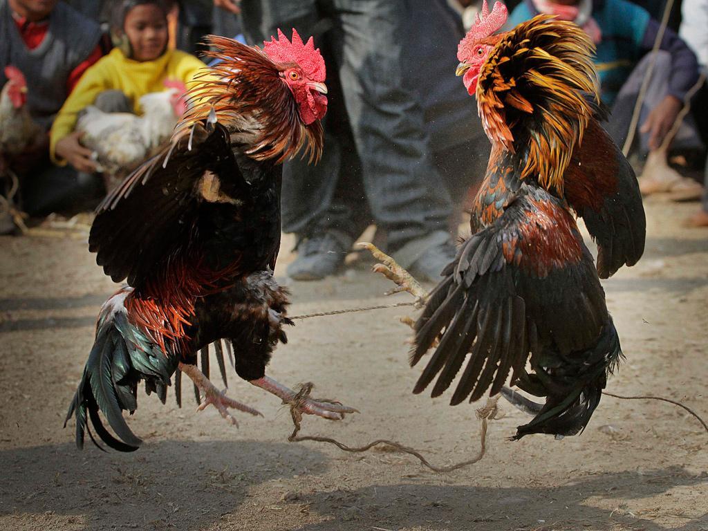 Panduan Cara Mendaftar Judi Sabung Ayam Online